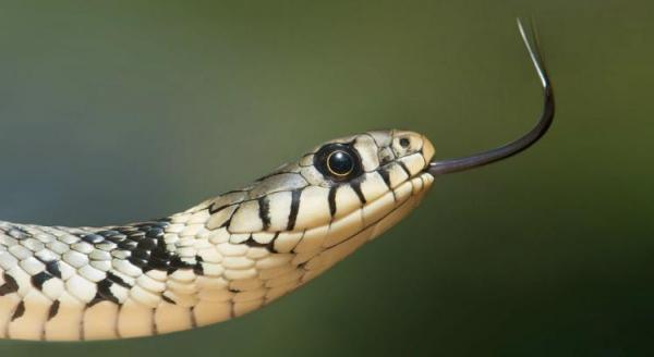 As pessoas que estão ao seu redor o influenciam a comer a cobra e Valdo começa a mastigar o réptil Foto: Pixabay/Divulgação